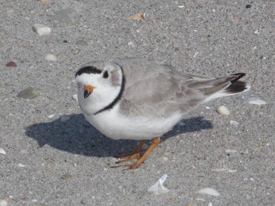 NYC Park Rangers and seasonal workers kept an eye on piping plovers this summer in Rockaway. The tiny shore birds are endangered.